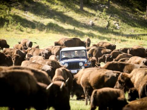 Rodeio anual para mover o rebanho de 1.300 bisões no Custer State Park (Parque Estadual de Custer)