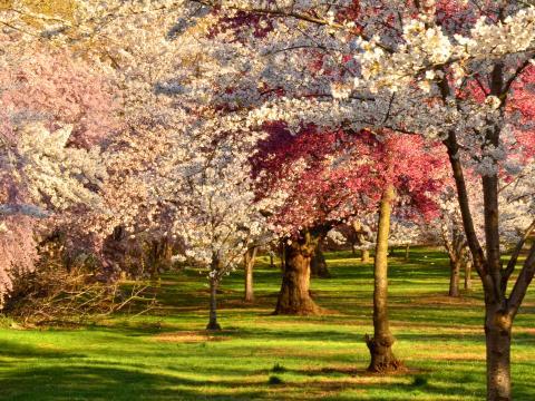 Flores totalmente abertas no Cherry Blossom Festival (Festival da Cerejeira) no Branch Brook Park (Parque Branch Brook)